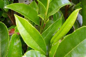 Plantas lipolíticas o quemagrasas