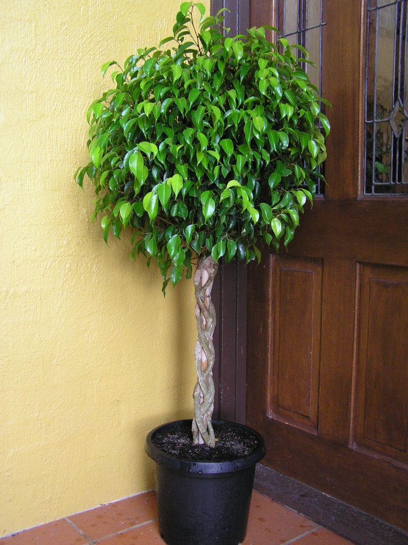 Plantas de interior que embellecen y purifican el aire for Arboles enanos para jardin